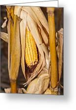 Corn Cobb On Stalk Greeting Card