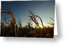 Corn Field In Sunset Greeting Card