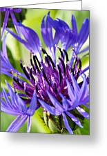 Corn Flower 3 Greeting Card