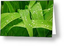 Corn Leaves After The Rain Greeting Card