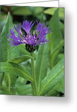 Cornflower Purple Surprise V1 Greeting Card