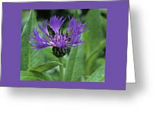 Cornflower Purple Surprise V2 Greeting Card