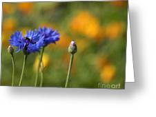 Cornflowers -2- Greeting Card