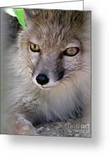 Corsac Fox- Vulpes Corsac 03 Greeting Card
