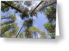 Corsican Pine Canopy Greeting Card