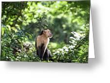 Costa Rica Capuchin Monkey Greeting Card