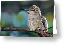 Costa's Hummingbird - Square Greeting Card
