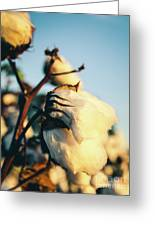 Cotton Field 13 Greeting Card