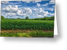 Cotton Fields Of Sc Greeting Card