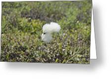 Cotton Grass -eriophorum Virginicum- Greeting Card
