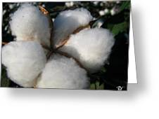 Cotton Pod Open Greeting Card