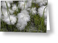 Cottongrass Greeting Card