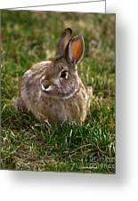 Cottontail Bunny ... Montana Art Photo Greeting Card