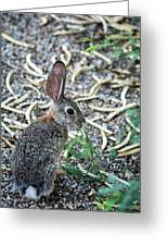 Cottontail Rabbit 4320-080917-1 Greeting Card