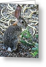 Cottontail Rabbit 4320-080917-2cr Greeting Card