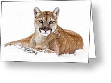 Cougar On White Greeting Card