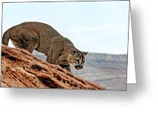 Cougar Prowling Greeting Card
