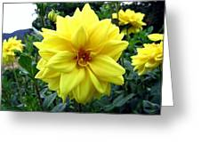 Country Dahlias Greeting Card