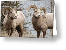 Couple Of Rams- Banff National Park Greeting Card