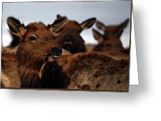 Cow Elk At Hardware Ranch Greeting Card