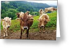 Cow Gazing  Greeting Card