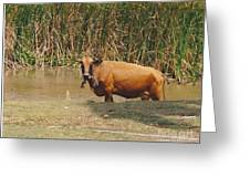 Cow In The Field Greeting Card