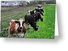 Cow Line Up Greeting Card
