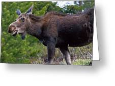 Cow Moose-signed-#4016 Greeting Card