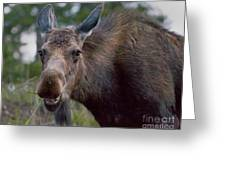 Cow Moose-signed-#4036 Greeting Card