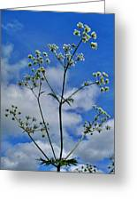 Cow Parsley Blossoms Greeting Card