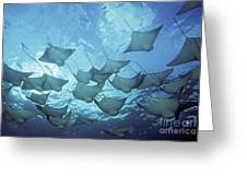 Cownose Rays Greeting Card