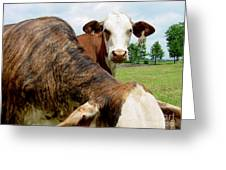 Cows8938 Greeting Card