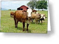 Cows8944 Greeting Card