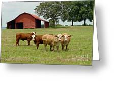Cows8954 Greeting Card