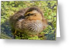 Coy Duckling Greeting Card