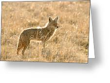 Coyote At Dawn Greeting Card