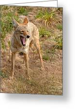 Coyote Caught In A Yawn Greeting Card