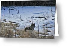 Coyote Food Hunting Greeting Card