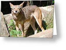 Coyote Grin Greeting Card