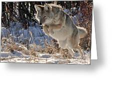 Coyote In Mid Jump Greeting Card