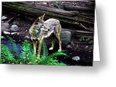 Coyote In Mid Stream Greeting Card