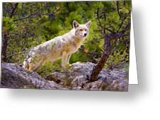 Coyote In The Rocky Mountain National Park Greeting Card