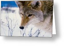 Coyote Listening  For Prey Greeting Card