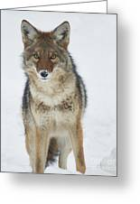 Coyote Looking At Me Greeting Card