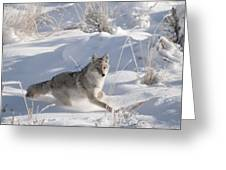 Coyote On The Move Greeting Card