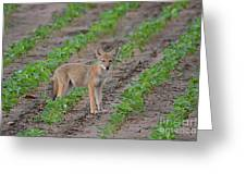 Coyote Pup Greeting Card