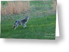 Coyote Stance  Greeting Card