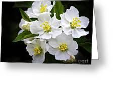 Crab Apple Blossom Greeting Card