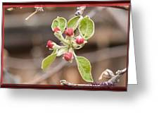 Crab Apple Buds Greeting Card