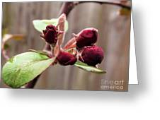 Crab-apple Tree Flower Buds Greeting Card